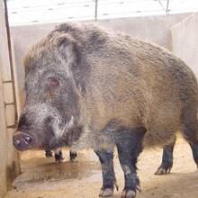 问在什么地方能买到野猪苗哪里有卖野猪的图片
