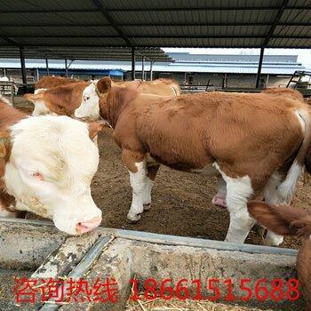 【海福特牛哪的肉牛价格便宜】-黄页88网
