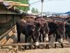 内蒙古肉驴养殖