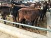 青海肉驴养殖