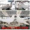 沐川种鸽价格