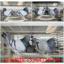 种鸽肉鸽养殖场图片