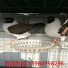 杜尔伯特蒙古族自治哪儿有大型养鸽场