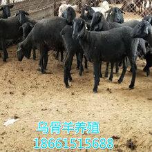 赤峰市乌骨羊养殖场图片