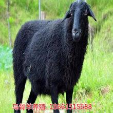 松原市乌骨羊养殖场图片