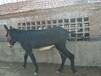 吐鲁番地区大型养驴基地