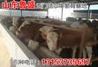 揭阳市批发小黄牛