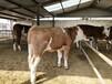 汕头市最新肉牛犊价格