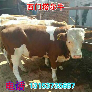 海南利木赞牛犊价格