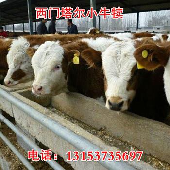 潍坊市300斤牛犊多少钱