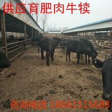 朝阳市牛的价格图片