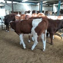朝阳市一头黄牛的价格图片
