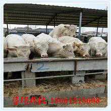 朝阳市肉牛养殖场图片