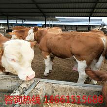 梧州市西门塔尔牛牛苗图片