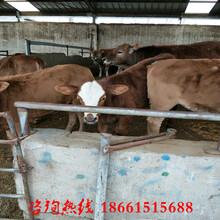 达州市哪里有肉牛种苗图片