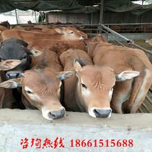 北京黄牛牛苗价格图片