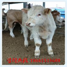 西宁市小牛犊种苗图片
