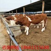 金华市种牛苗哪儿出售图片