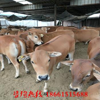 黄山市鲁西牛犊价格