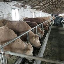 朝阳市鲁西黄牛养殖场图片