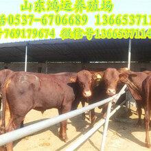三元杂交牛品种和特征图片