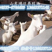 春季養羊需要注意什么圖片