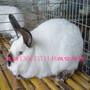 肉兔种兔多少钱一组图片