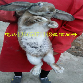 大型兔子体型