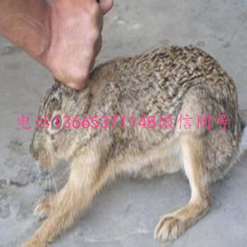 野兔种苗价格野兔种苗多少钱一只