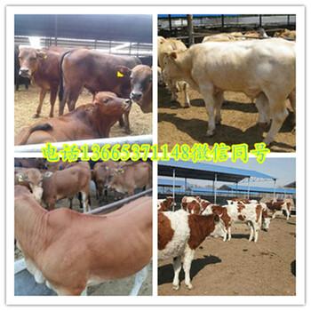 新疆褐牛养殖基地
