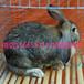 优良肉兔种兔养殖场