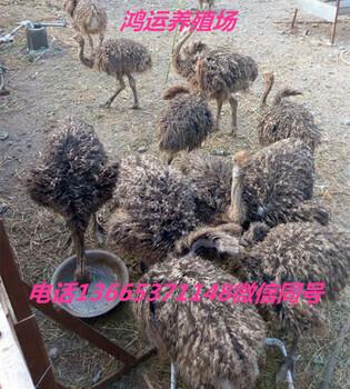 鸵鸟养殖可行性报告