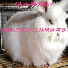 長毛兔價格圖片