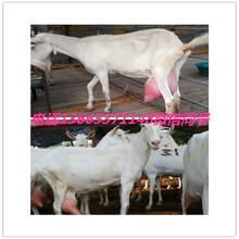 陜西奶山羊養殖基地圖片