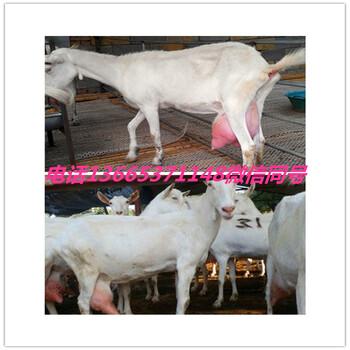 崂山奶山羊图片