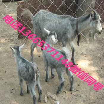青山羊20斤的小羊价格