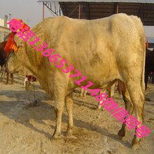 陕西秦川红牛在什么地方图片