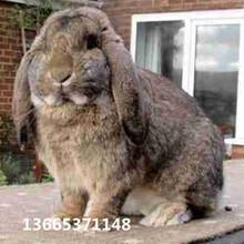 公羊兔比較適合在哪里養殖發給公羊兔一般能長多少斤圖片