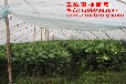 福建平和县正达蜜柚种苗有限公司—红肉蜜柚苗批发