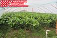 三红柚子苗如何种植方法