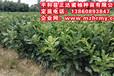 琯溪红肉蜜柚苗的种植技术,最新琯溪红肉蜜柚苗出售