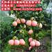 原产地柚子苗—福建平和县正达蜜柚种苗有限公司