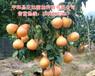 三红蜜柚苗种植技术三红蜜柚果树苗木价格哪里便宜