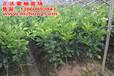 新三红蜜柚苗福建行情价多少钱一棵三红柚子苗果树批发价格