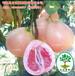 正达三红蜜柚苗多少钱一株,贵州哪里有三红蜜柚苗