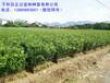 在贵州上哪买三红柚子苗,哪里有正宗三红蜜柚苗