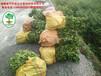 红肉蜜柚苗品种怎样?正常贵州三红蜜柚苗要多少钱一棵