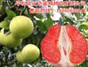 三红蜜柚是个好品种,想再贵州种植三红蜜柚苗哈