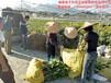 红心香柚苗供应/广西优质的三红蜜柚苗果树批发价格