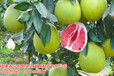 什么蜜柚苗品种好?贵州适合种红心蜜柚苗吗